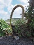 De bloemaar van agaveattenuata, Lanzarote stock foto's
