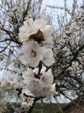 De de bloemabrikoos van de bloemabrikoos kwam mooie bloem tot bloei stock afbeeldingen