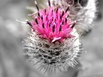De bloemachtergrond van de distel stock fotografie