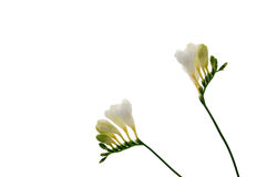 De bloemachtergrond van de fresia Stock Afbeeldingen