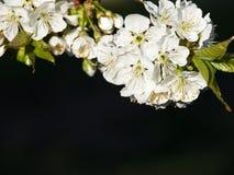 De bloemachtergrond van de kers Stock Foto's