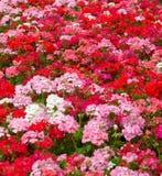 De bloemachtergrond van geraniums Royalty-vrije Stock Fotografie