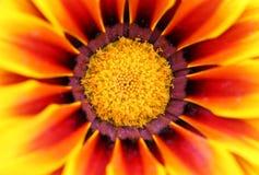 De bloemachtergrond van Zinnia Stock Fotografie