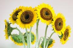 De bloemachtergronden van de zon Stock Foto