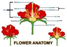 De bloemanatomie stock illustratie