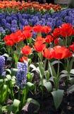 De bloembed van de lente in tuinen Keukenhof Stock Foto