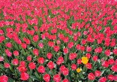 De bloembed van de tulp Stock Afbeeldingen