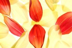 De bloemblaadjes van de dahlia Stock Afbeeldingen