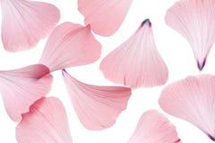 De bloemblaadjes van de malve Stock Afbeeldingen