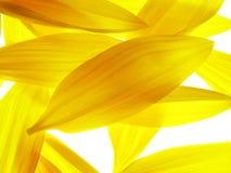 De bloemblaadjes van de zonnebloem Stock Fotografie