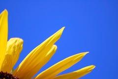 De bloemblaadjes van de zonnebloem met aardige blauwe hemelachtergrond Stock Afbeeldingen