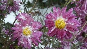 De bloemblaadjes van een mooie die bloem met vorst het wordt behandeld die in de stralen van de het toenemen zon smelten De recen stock foto's