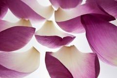 De bloemblaadjes van Lotus Royalty-vrije Stock Fotografie