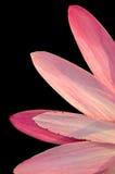 De bloemblaadjes van Lotus Stock Foto