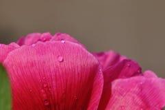 De bloemblaadjes van de pioen met waterdalingen Stock Afbeeldingen