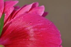 De bloemblaadjes van de pioen met waterdalingen Royalty-vrije Stock Afbeelding