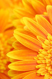 De bloemblaadjesachtergrond van Daisy royalty-vrije stock fotografie