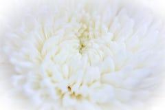 De bloemblaadjesachtergrond van de close-up witte chrysant royalty-vrije stock afbeeldingen