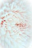 De bloemblaadjesachtergrond van de close-upchrysant stock fotografie