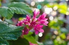 De bloemblackcurrant van de lente Royalty-vrije Stock Afbeeldingen