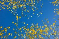 De bloembloei die van de mosterd in de blauwe hemel toenemen Royalty-vrije Stock Afbeeldingen