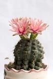 De bloembloei van de cactus Stock Foto