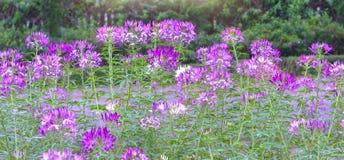 De bloembloei van de Cleomespin Stock Foto's