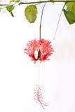 De bloembloesem van de hibiscus. Stock Afbeelding