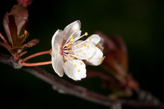 De bloembloesem van de kersenboom op donkere achtergrond Royalty-vrije Stock Foto