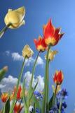 De bloembloesem van de tulp Royalty-vrije Stock Fotografie