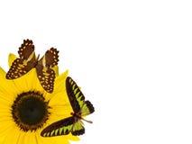 De bloembloesem van de zon die op witte wi wordt geïsoleerd als achtergrond Royalty-vrije Stock Afbeelding