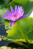 De bloembloesem van Lotus Stock Afbeelding