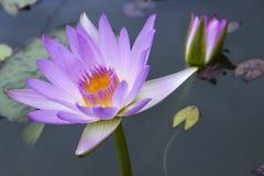 De bloembloesem van Lotus Royalty-vrije Stock Afbeeldingen