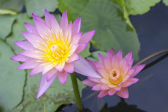 De bloembloesem van Lotus Stock Foto