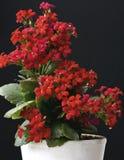 De bloembloesems van Kalanchoe Stock Foto's