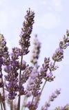 De bloembos van de lavendel Royalty-vrije Stock Afbeeldingen