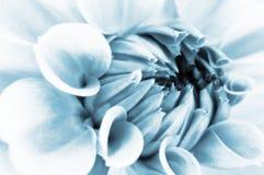 De bloemclose-up van de dahlia Royalty-vrije Stock Afbeeldingen
