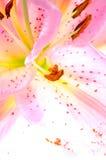 De bloemclose-up van Lilly Royalty-vrije Stock Afbeelding