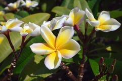 De bloemclose-up van Plumeria Stock Foto's