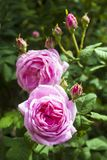 De bloemclose-up van Rosa Centifolia Rose des Peintres in een zonnige de zomerdag stock foto
