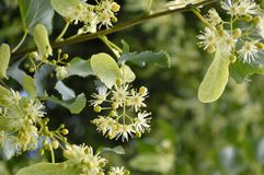 De bloemcluster van Glenlevenlinden tree stock foto