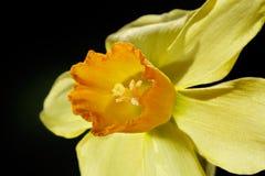 De bloemdetail van de gele narcis Stock Fotografie