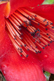 De bloemdetail van de kapok stock foto's