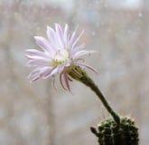 De bloemechinopsis van de cactus Royalty-vrije Stock Foto's
