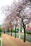 De bloemen Bauhinia die in de lente bloeien Stock Foto's