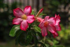 De bloemen die van Adeniumobesum in de tuin bloeien stock fotografie