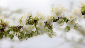 De Bloemen die van Apple Treee bloeien - sluit hoog Royalty-vrije Stock Foto