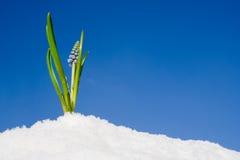 De bloemen die van de lente omhoog komen Royalty-vrije Stock Foto's