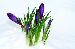 De bloemen die van de lente omhoog komen Stock Afbeeldingen