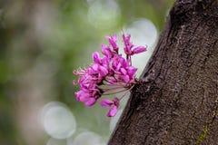 De bloemen die van de Judasboom van oude boomboomstam ontspruiten stock afbeelding